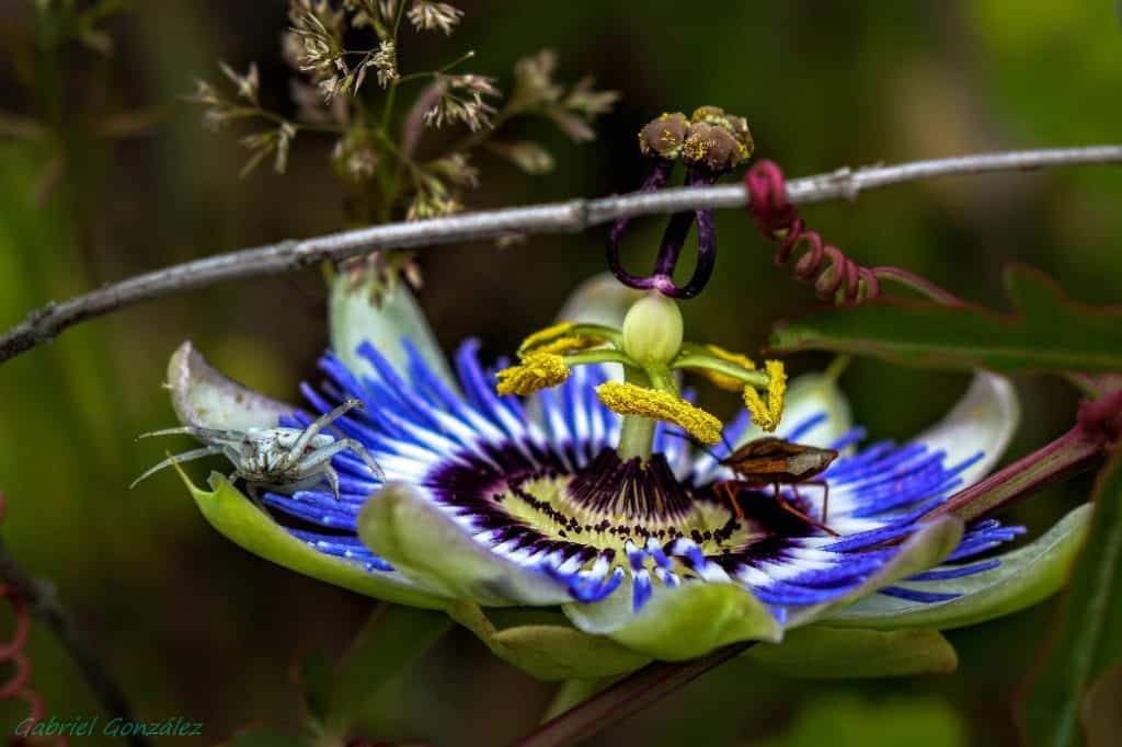 passion flower with insects