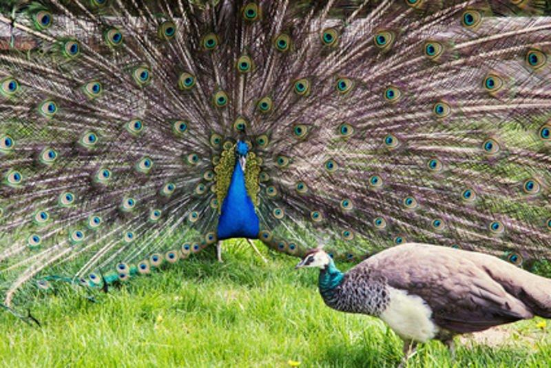 sexual signaling peacock