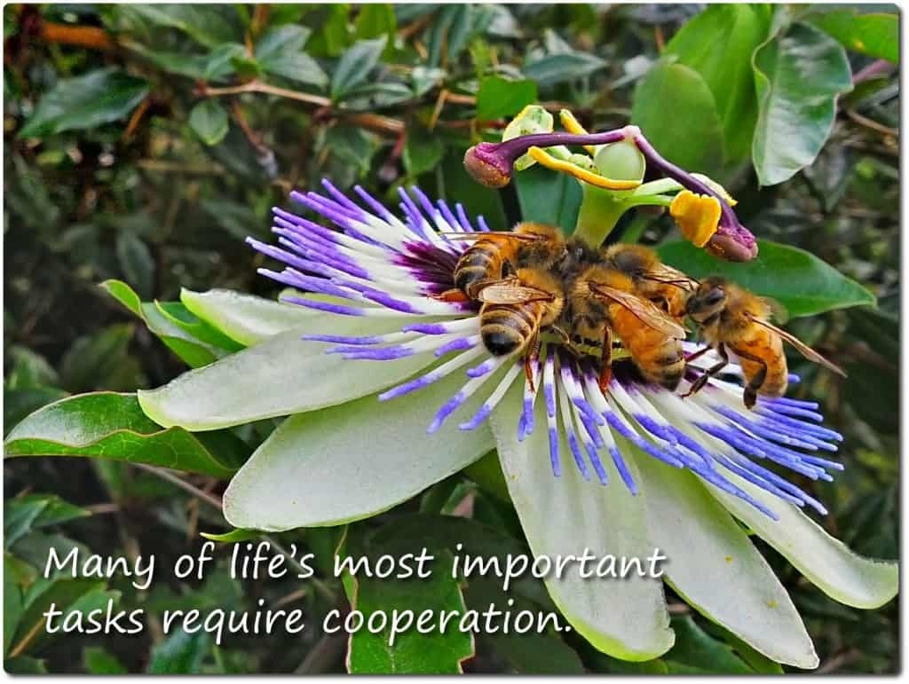 Cooperation bees mandala on passion flower