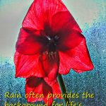 Amaryllis in rainy window--life's beautiful moments