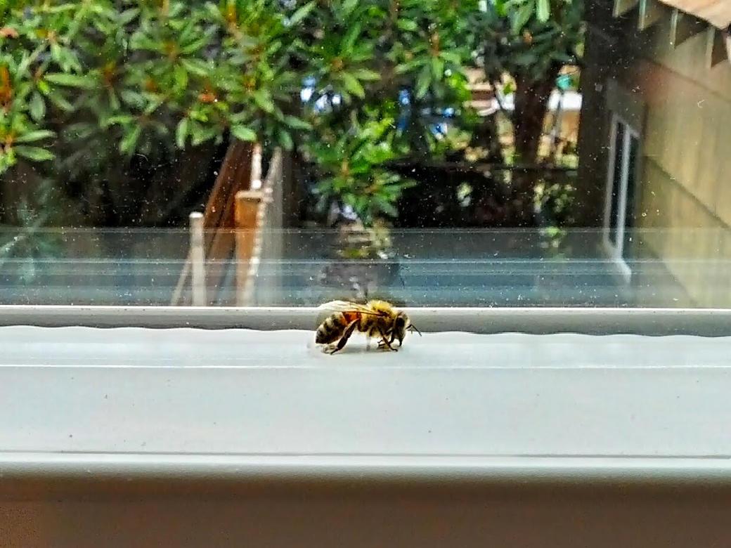 bee trapped inside window