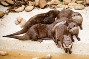 cuddling small claw otters