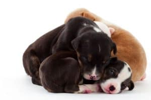 snuggling cuddling puppies