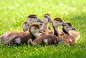 snuggling ducks